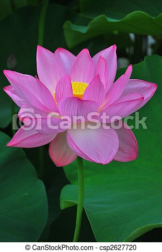 Lotus flower in full bloom symbolizing religion buddhism purity lotus flower in full bloom symbolizing religion buddhism purity serenity zen the summer season buddha enlightenment bliss joy and other abstract mightylinksfo