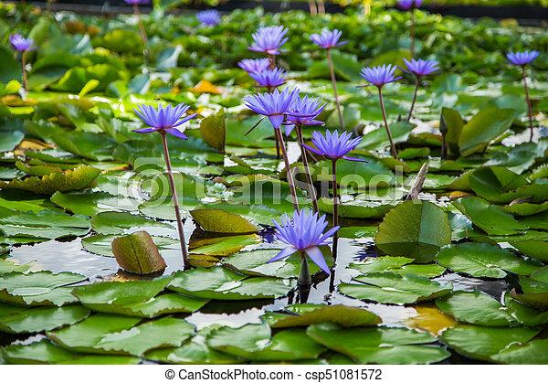 Beautiful lotus flower in pond at marina bay front singapore lotus flower in pond at marina bay front singapore csp51081572 mightylinksfo