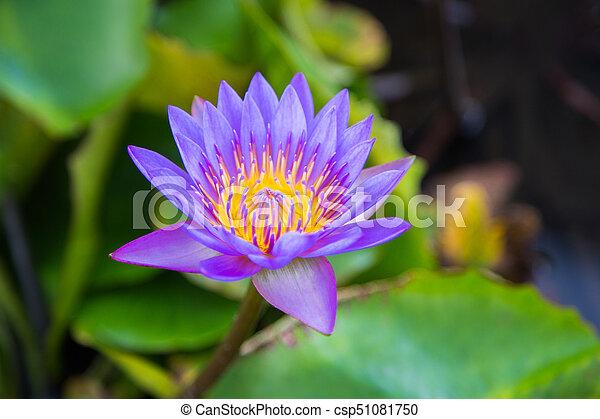 Beautiful lotus flower in pond at marina bay front singapore lotus flower in pond at marina bay front singapore csp51081750 mightylinksfo