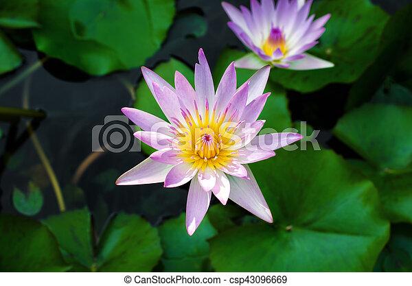 Lotus flower in pond - csp43096669