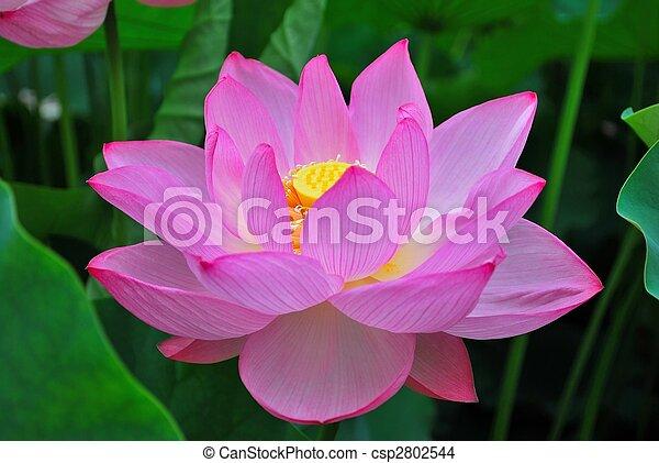 Lotus flower in summer lotus flower in full bloom during summer lotus flower in summer csp2802544 mightylinksfo