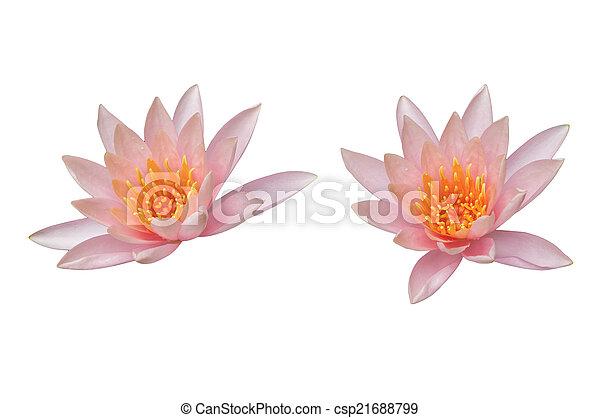 Lotus flower isolated on white - csp21688799