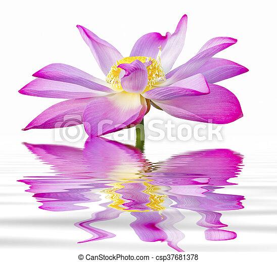 lotus flower isolated - csp37681378