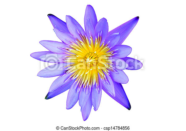 lotus flower isolated - csp14784856