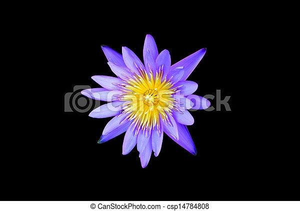 Lotus flower isolated - csp14784808