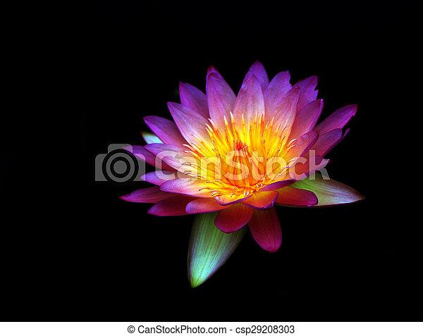 Lotus flower isolated - csp29208303