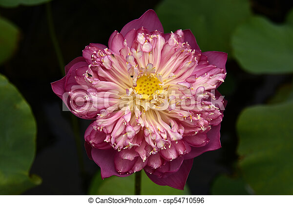 Lotus flower nelumbo nucifera the national flower of india found lotus flower nelumbo nucifera csp54710596 mightylinksfo