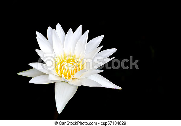 Lotus Flower On Black Background White Lotus Flower Isolated On