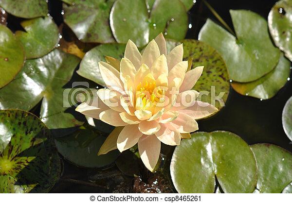 Lotus Flower On Lily Pad