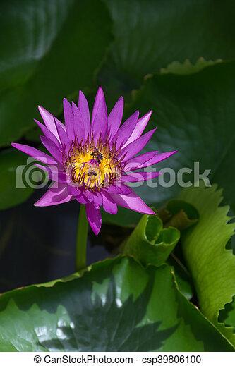 Lotus flower purple color lotus waterlily flower purple color lotus flower purple color csp39806100 mightylinksfo