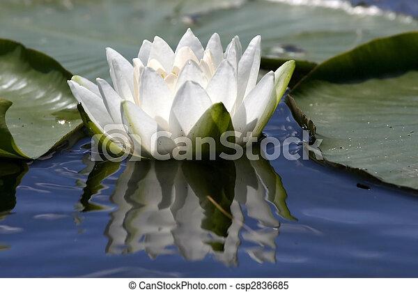 Lotus flower - csp2836685