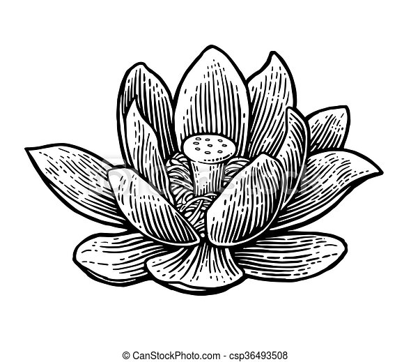 Lotus flower. vector black engraving vintage illustration on white ...