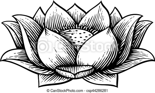 lotus flower - vintage engraved vector illustration (hand drawn style) - csp44286281
