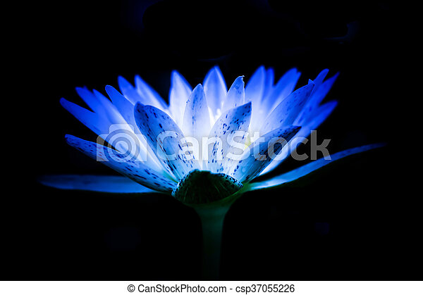 Lotus flower with blue color on black background blurted stock lotus flower with blue color on black background blurted soft focus csp37055226 mightylinksfo