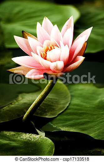 Lotus in the pond - csp17133518