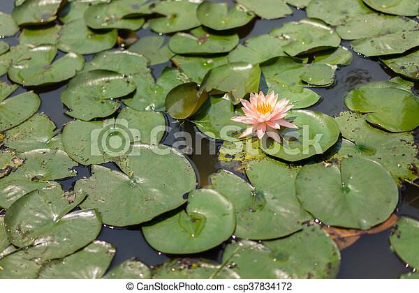 Lotus in the pond - csp37834172