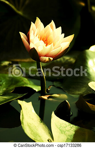 Lotus in the pond - csp17133286
