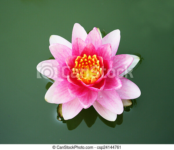 lotus in the pond - csp24144761
