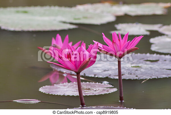 Lotus in the pond. - csp8919805