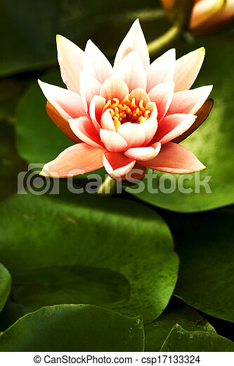 Lotus in the pond - csp17133324