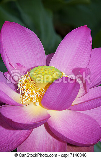 Lotus in the pond - csp17140346