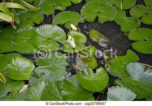 Lotus in the pond - csp23799547