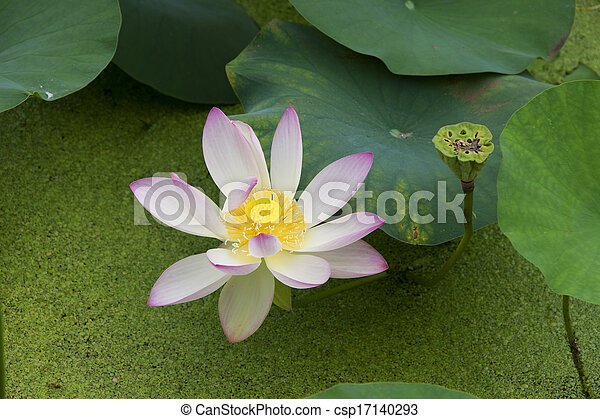 Lotus in the pond - csp17140293