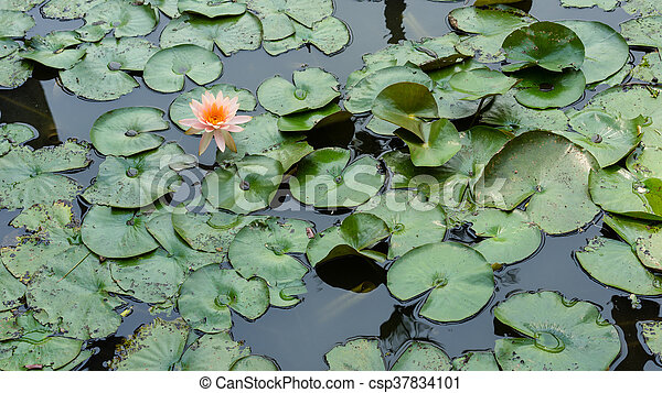 Lotus in the pond - csp37834101