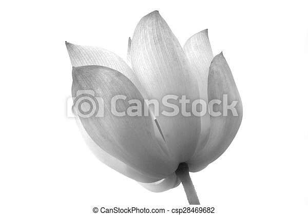 lotus isolated on white background - csp28469682