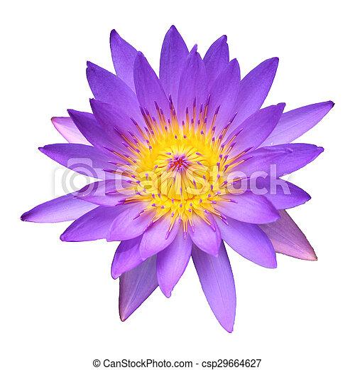 lotus isolated on white background - csp29664627