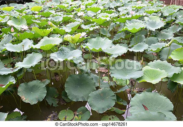 Lotus leaf in the lake - csp14678261
