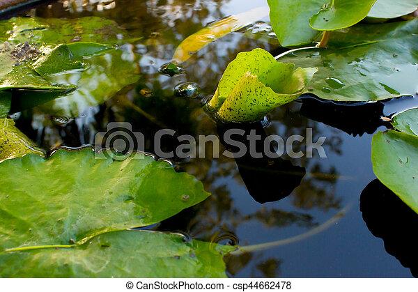 Lotus leaf - csp44662478