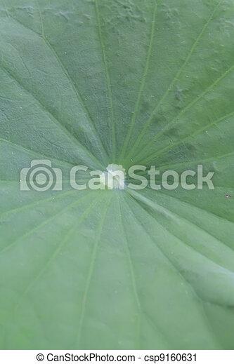 Lotus leaf - csp9160631