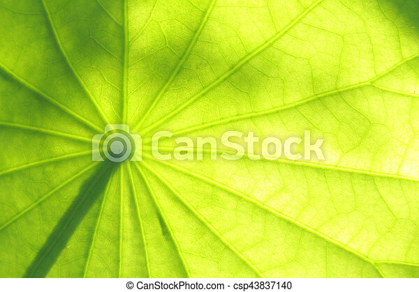 Lotus leaf - csp43837140