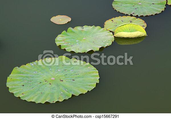 lotus leaves in the water - csp15667291