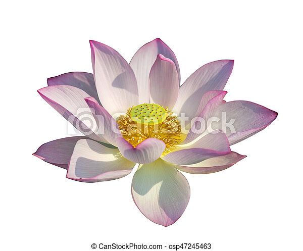 lotus on isolated white background. - csp47245463