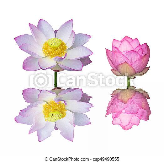 lotus on isolated white background. - csp49490555