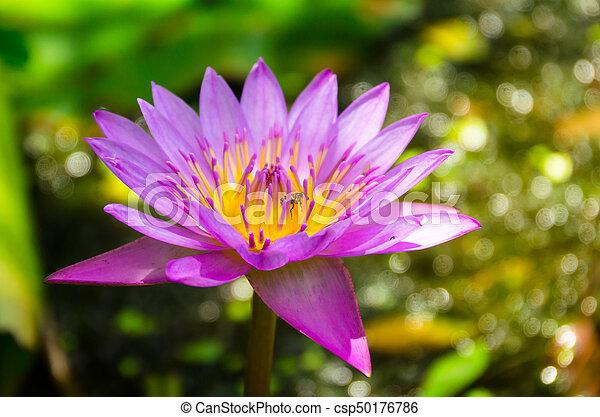 Lotus or punotrik white lotus flower the benefits of the lotus white lotus flower csp50176786 mightylinksfo