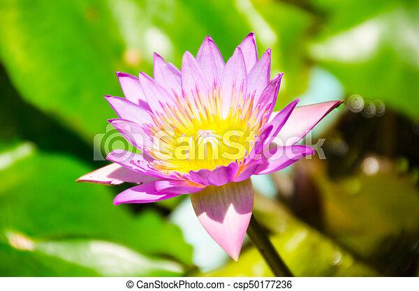 Lotus Or Punotrik White Lotus Flower The Benefits Of The Lotus
