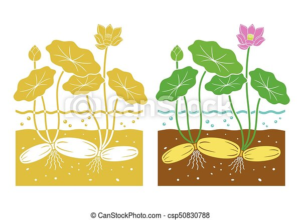 Lotus root with leaves and lotus flower lotus root csp50830788 mightylinksfo