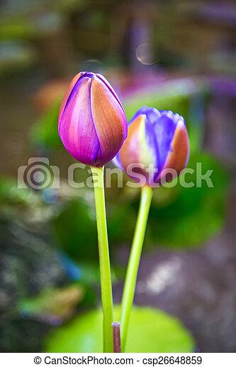 Lotus atrans lotus flower australian giant lotus lotus csp26648859 mightylinksfo