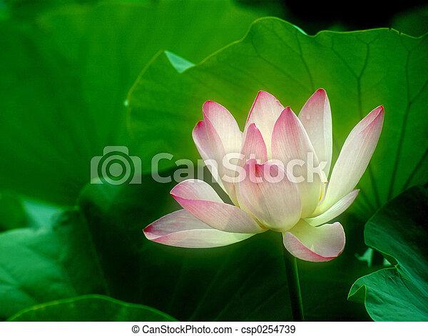 Lotus - csp0254739