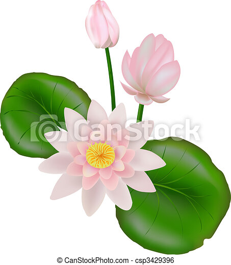 Lotus With Leaves Pink And White Lotus Flower Or Water Lily