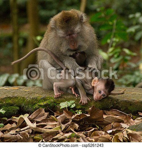 Lousing macaque monkeys - csp5261243