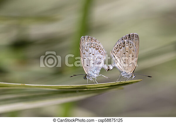 Love couple butterfly, mating pair of butterflies, close up. Bali, Indonesia - csp58875125