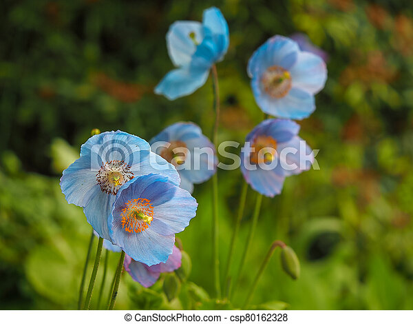 Lovely blue Meconopsis flowers or Himalayan poppies - csp80162328