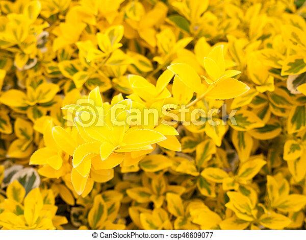 Lovely Yellow Flower Bush Shrub In The Golden Sunlight And Shine In