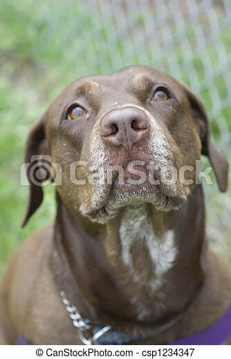 Loving Dog Beautiful Chocolate Lab Looking Up Lovingly At It S