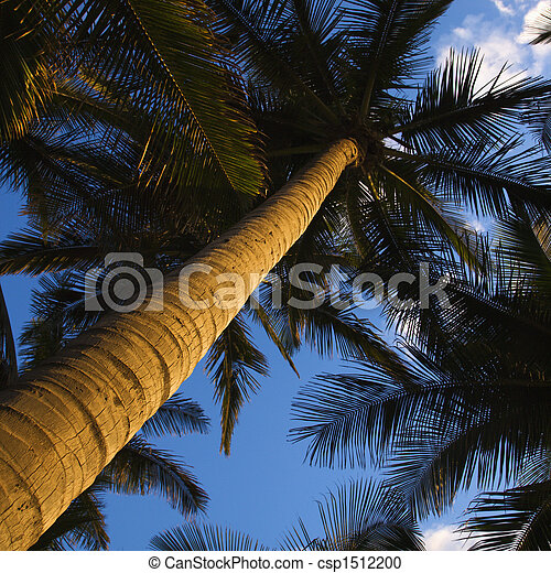Low angle palm tree. - csp1512200