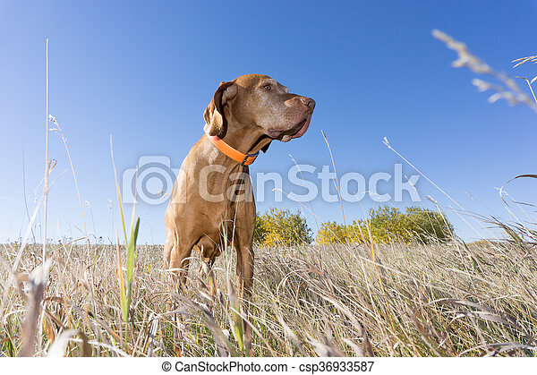 low angle view of a hunting dog in field - csp36933587